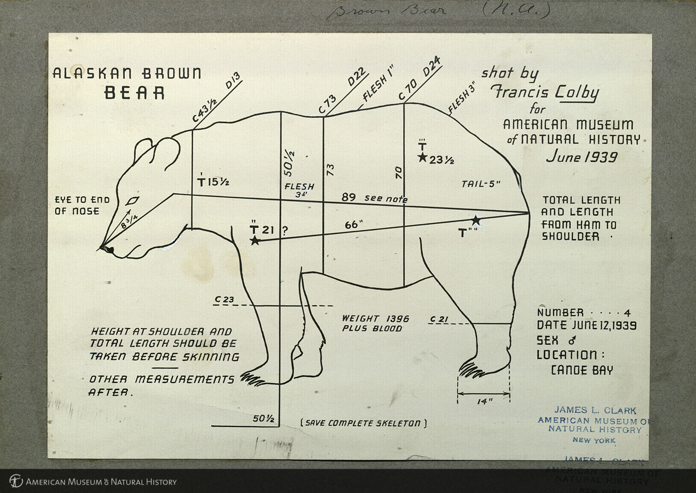 Alaska brown bear specimen measurement chart from AMNH