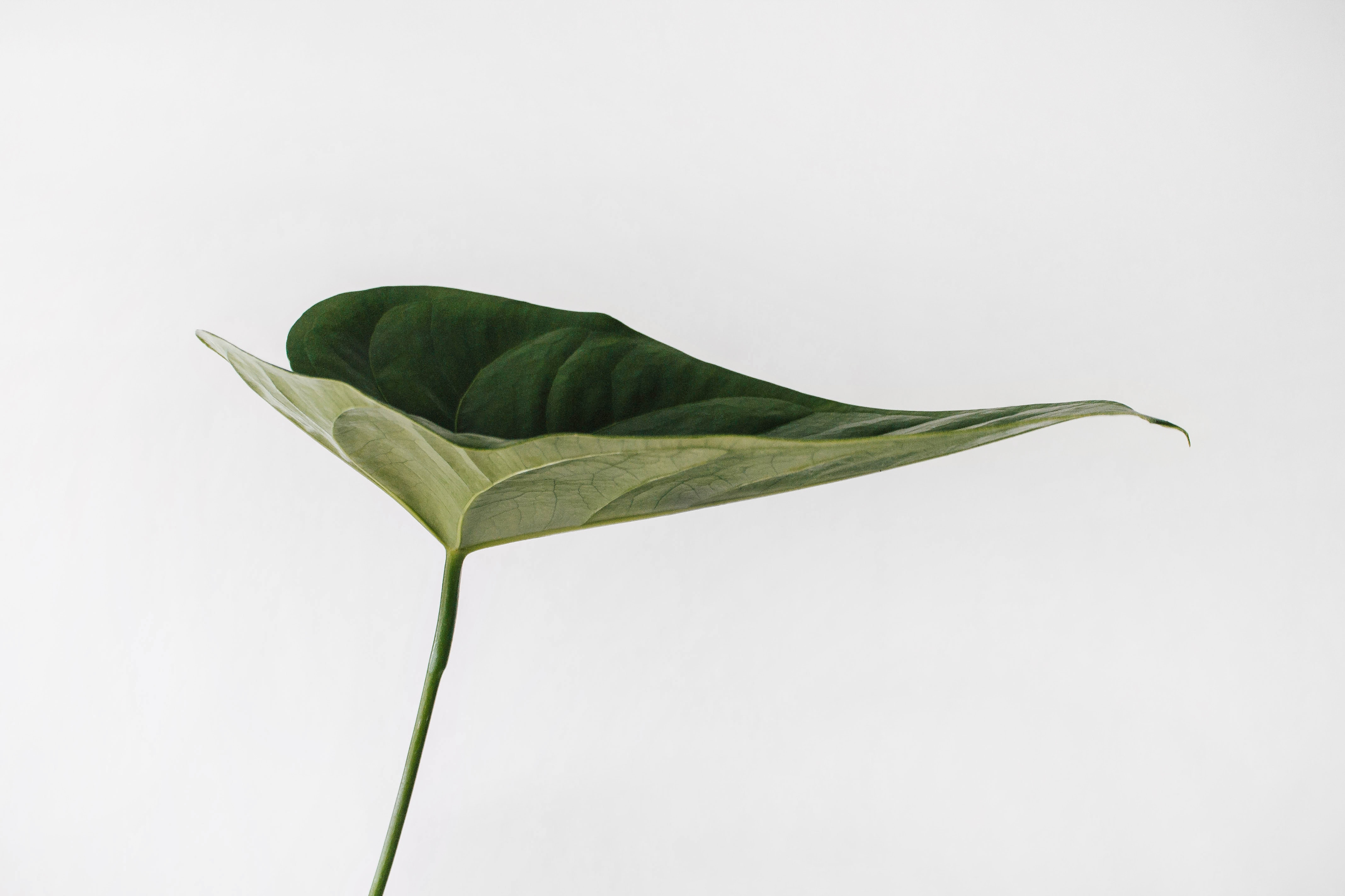 image of a single green leaf on a hite background